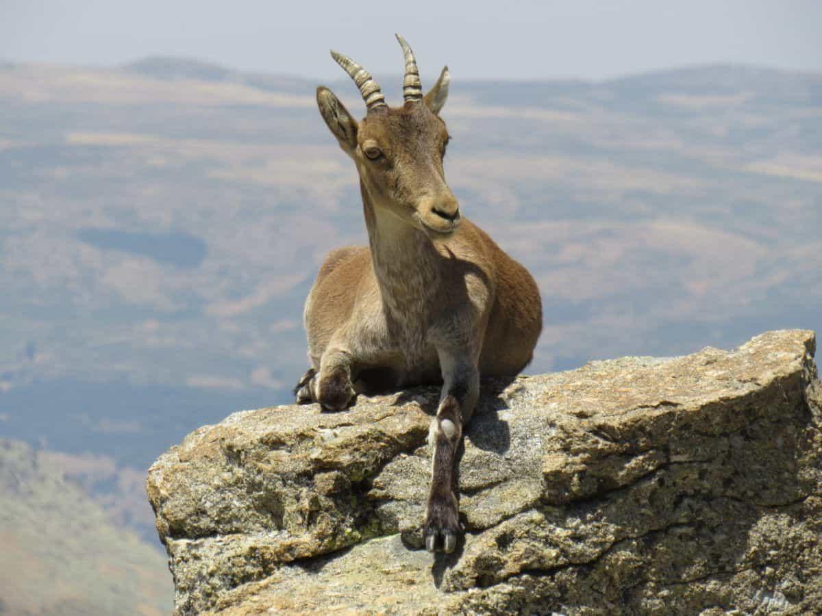 cabra montesa Gredos